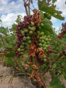 Beaujolais Gamay Druiven